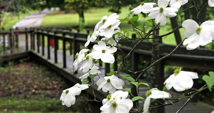 dogwoods blooming near bridge